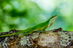 Closeup Of A Cute Little Texas Green Anole Royalty Free Stock Photography