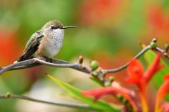 Closeup Of A Female Rufous Hummingbird Perched On A Branch With Copy Space. Royalty Free Stock Images