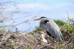 Free Closeup Of A Great Blue Heron Royalty Free Stock Photography - 29561597