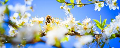 Free Closeup Of A Honey Bee Gathering Nectar And Spreading Pollen On White Flowers On Cherry Tree. Stock Photo - 202796750
