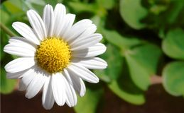 Closeup Of A Little White Daisy, Perfectly Round Flower. Royalty Free Stock Image