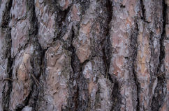 Free Closeup Of A Pine Tree Bark In The Woods Stock Photography - 91554182