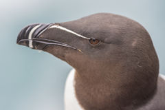 Closeup Of A Razorbill On The Latrabjarg Cliffs, Western Fjords, Iceland Royalty Free Stock Images