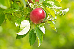 Free Closeup Of A Red Apple On A Tree Stock Images - 35414524