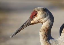 Free Closeup Of A Sandhill Crane - Michigan Stock Photos - 88385333