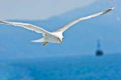Free Closeup Of A Seagull Flying Over Aegean Sea Near Mountain Athos Royalty Free Stock Photo - 65545085