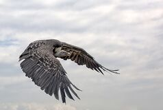 Free Closeup Of A White-rumped Vulture Flying In The Cloudy Sky Royalty Free Stock Images - 201845379