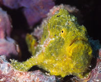 Free Closeup Of A Yellow Longlure Frogfish On A Purple Sponge, Bonaire, Dutch Antilles. Royalty Free Stock Photography - 84449317