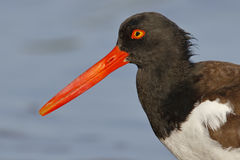 Closeup Of An American Oystercatcher - St. Petersburg, Florida Stock Photos