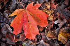 Closeup Of An Orange Maple Leaf On Fallen, Dried Leaves. Royalty Free Stock Photo