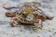 Closeup Of Asian River Frog Royalty Free Stock Photos