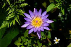 Free Closeup Of Beautiful Bright Purple Violet Nymphaea Or Water Lily Bud In A Pond Stock Photo - 175110960