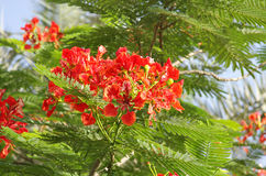 Closeup Of Beautiful Gulmohar Flowers