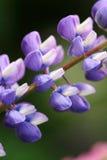 Closeup Of Beautiful Lupine Royalty Free Stock Photos