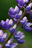 Closeup Of Beautiful Lupine Royalty Free Stock Photo
