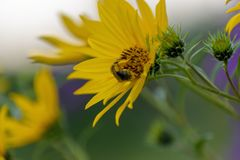 Free Closeup Of Bee Gathering Pollen From A Compass Plant Flower Stock Photos - 114947903