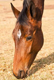 Closeup Of Brown Horse Head Royalty Free Stock Images