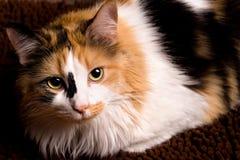 Free Closeup Of Calico Cat Stock Image - 16428101