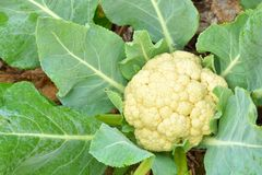 Closeup Of Cauliflower. Royalty Free Stock Images