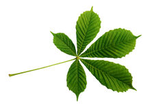 Free Closeup Of Chestnut Leaf Stock Photos - 75419303
