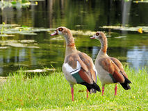 Closeup Of Egyptian Geese Royalty Free Stock Images