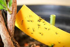 Free Closeup Of Fungus Gnats Being Stuck To Yellow Sticky Tape Royalty Free Stock Photo - 137549975