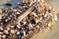 Free Closeup Of Goose Barnacle On A Timber. Stock Image - 51723461