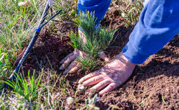 Free Closeup Of  Hands Of A Man Who Is Planting A Limber Pine Evergreen Seedling Tree Next To A Drip Irrigation Line Royalty Free Stock Photo - 95570555