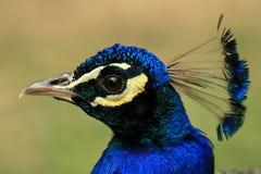 Free Closeup Of Head Of Peacock Royalty Free Stock Photos - 5639578