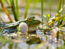 Free Closeup Of Male Edible Frog Royalty Free Stock Photography - 25891007