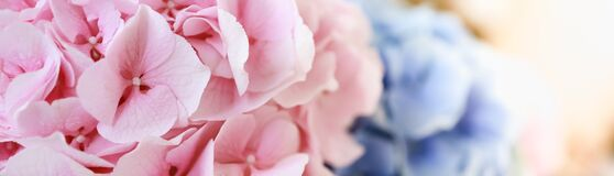 Free Closeup Of Nature Pink And Blue Hydrangea Flower Using As Background Natural Plants Landscape, Ecology Cover Page Concept Stock Images - 191209864