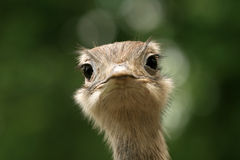 Closeup Of Ostrich Head Stock Image