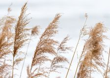Free Closeup Of Panicle Reed In Winter White Background Stock Images - 111720094