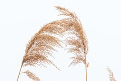 Free Closeup Of Panicle Reed In Winter White Background Royalty Free Stock Image - 111720096