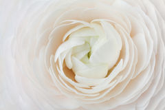 Closeup Of Peach Ranunculus For Abstract Background, Beautiful Spring Flower, Wedding Floral Pattern, Macro Stock Image