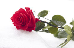 Closeup Of Red Rose On Snow. Royalty Free Stock Image