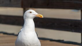 Free Closeup Of Seagull Looking Into Shot On A Wooden Pier, California. Royalty Free Stock Images - 172883029
