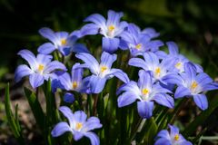 Free Closeup Of Some Glory-of-the-snow Flowers Chionodoxa Luciliae In Spring Royalty Free Stock Images - 131711839
