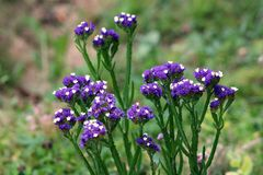 Free Closeup Of Statice Or Limonium Sinuatum Perennial Plant With Small Short Papery Clusters Of Blue To Purple With White Open Flowers Royalty Free Stock Images - 164562089