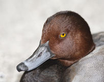 Closeup Of The Yellow Eyes Of A Wild Duck Royalty Free Stock Photo
