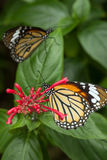 Closeup Of Two Common Tiger Butterflies Stock Photos