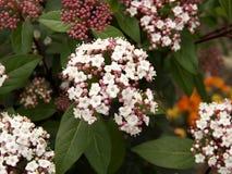 Free Closeup Of Viburnum Tinus,laurustinus, Laurustine Or Laurestine Stock Photo - 213839280
