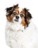 Closeup of Old Blind Papillion Dog Royalty Free Stock Photo
