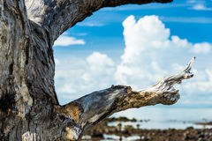 Closeup old dry tree with blue sky and cloud in back Royalty Free Stock Photo