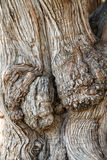 Closeup of Old Gnarled Oak Tree Stock Image