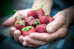 Closeup of old granny hands holding many fresh strawberries. Female adult showing a handful of red berries strawberries. stock images