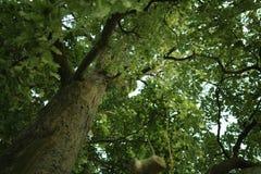Closeup old oak tree low angle shot Royalty Free Stock Photography