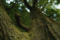 Closeup old oak tree low angle shot Stock Photo