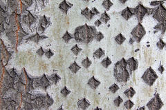 Old populus tomentosa tree bark Stock Photo