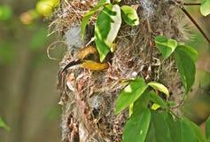 Closeup Oliv-drog tillbaka Sunbird i rede p? naturbakgrund arkivfoton